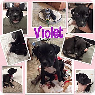 American Pit Bull Terrier/Pit Bull Terrier Mix Puppy for adoption in Rosamond, California - Violet