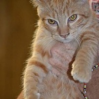 American Shorthair Cat for adoption in Albemarle, North Carolina - Alfred
