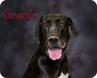 Great Dane Mix Dog for adoption in Somerset, Pennsylvania - Gracie