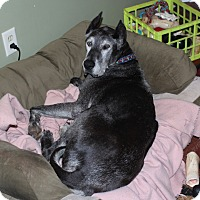 Great Dane Dog for adoption in Phoenixville, Pennsylvania - Winnie