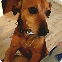 Adopt A Pet :: Bonita - Andalusia, PA