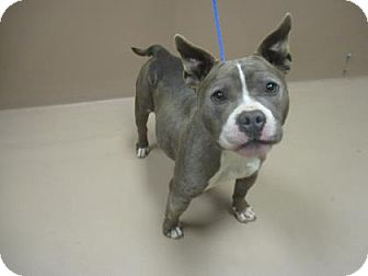 American Pit Bull Terrier Mix Dog for adoption in Reno, Nevada - DANICA