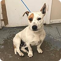 Adopt A Pet :: 6333/ Romeo - Calhoun, GA