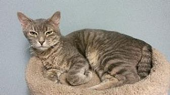 Domestic Shorthair Cat for adoption in Queenstown, Maryland - Sterling