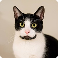 Adopt A Pet :: Figaro - Seville, OH