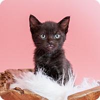 Adopt A Pet :: Raven - Miami Shores, FL