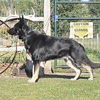 German Shepherd Dog Dog for adoption in Hamilton, Montana - Duke-STOLEN by Pam Zachritz
