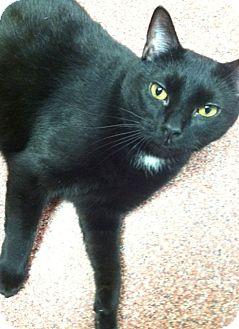 Domestic Shorthair Cat for adoption in Saranac Lake, New York - Phil
