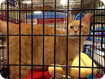 Domestic Shorthair Cat for adoption in Muncie, Indiana - Katrina