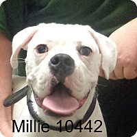 Adopt A Pet :: Millie - Greencastle, NC