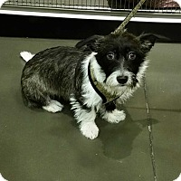 Adopt A Pet :: Lolli - Adoption Pending - Gig Harbor, WA