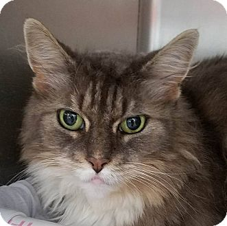 Domestic Longhair Cat for adoption in Adrian, Michigan - Boots