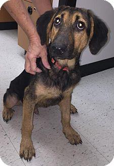 German Shepherd Dog/Hound (Unknown Type) Mix Dog for adoption in Livonia, Michigan - Sammy-ADOPTED