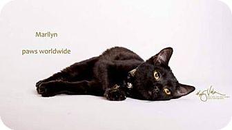 Egyptian Mau Kitten for adoption in Corona, California - MARILYNN