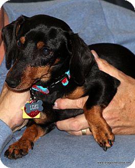 Dachshund/Miniature Pinscher Mix Dog for adoption in Spokane, Washington - Loki, possible pending home