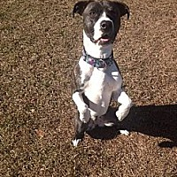 Pit Bull Terrier Mix Dog for adoption in Hinesville, Georgia - Blaze