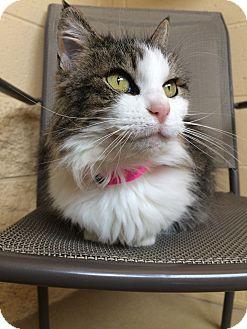 Domestic Mediumhair Cat for adoption in Chula Vista, California - Darla