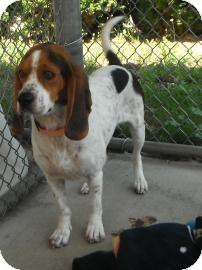 Beagle Mix Dog for adoption in Jackson, Michigan - Copper