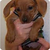 Adopt A Pet :: Clyde - Sand Springs, OK