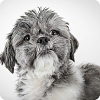 Adopt A Pet :: Theo - New York, NY