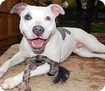 Staffordshire Bull Terrier/American Pit Bull Terrier Mix Dog for adoption in O'Fallon, Missouri - Baloo