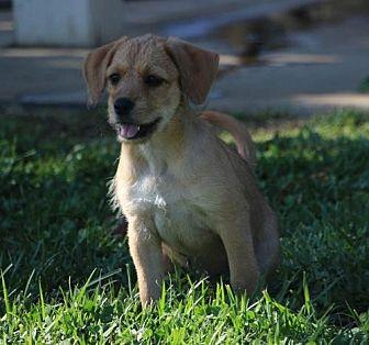 Boston Terrier/Shepherd (Unknown Type) Mix Dog for adoption in San Diego, California - Lyka