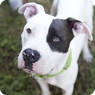 Pit Bull Terrier Mix Dog for adoption in Houston, Texas - Gypsy