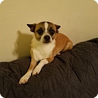 Pug/Chihuahua Mix Dog for adoption in Goodyear, Arizona - Kiki