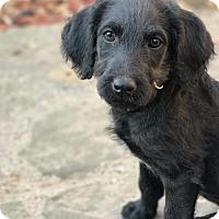 Adopt A Pet :: Arlee - Denton, TX