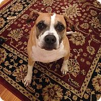 Adopt A Pet :: Shadow - Richmond, VA