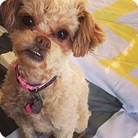 Adopt A Pet :: Cheerio - Newport, KY