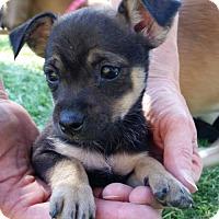 Adopt A Pet :: Quinn - Westminster, CO