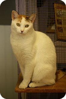 Calico Cat for adoption in Dover, Ohio - LIberty