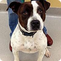 Adopt A Pet :: Gracie - Plano, TX