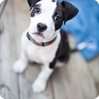 Adopt A Pet :: Raven - Reisterstown, MD