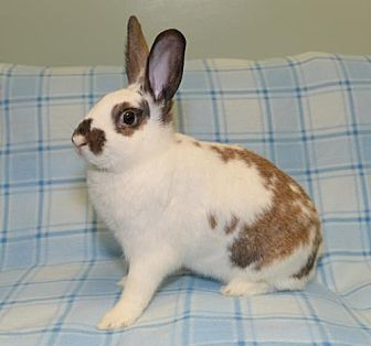 English Spot Mix for adoption in Chesterfield, Missouri - Felix