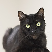 Domestic Shorthair Cat for adoption in Houston, Texas - Miss Kitty Gilpin