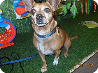 Chihuahua/Corgi Mix Dog for adoption in haslet, Texas - Josi Joe
