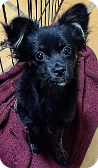 Pomeranian/Papillon Mix Puppy for adoption in Irvine, California - Raleigh