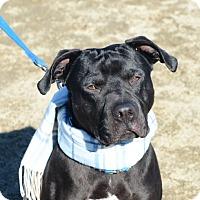 Pit Bull Terrier/Labrador Retriever Mix Dog for adoption in Gardnerville, Nevada - Chase