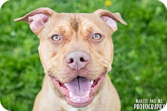 Pit Bull Terrier Mix Dog for adoption in Lockport, New York - Kingsley