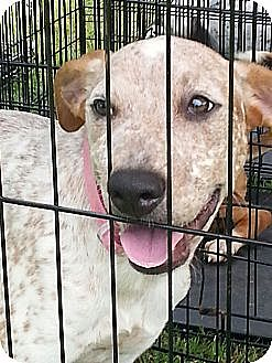 Terrier (Unknown Type, Medium)/Labrador Retriever Mix Puppy for adoption in Blanchard, Oklahoma - Allie