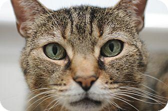 Abyssinian Cat for adoption in Huntington Station, New York - NINA