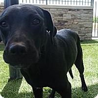 Adopt A Pet :: Lilly - white settlment, TX