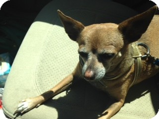 Chihuahua Mix Dog for adoption in Bellingham, Washington - Teddy
