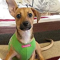 Adopt A Pet :: Danka - Encinitas, CA