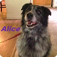 Adopt A Pet :: Alice - Adopted - October 2015 - Huntsville, ON