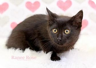 Domestic Shorthair Kitten for adoption in Sterling Heights, Michigan - Zuri