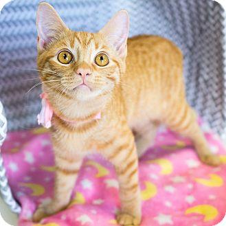 Domestic Shorthair Kitten for adoption in Montclair, California - Flo