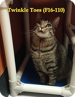 American Shorthair Cat for adoption in Tiffin, Ohio - Twinkle Toes